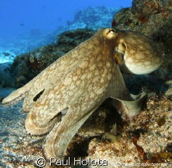 A Reef Octo out in the daytime. Cozumel. Canon 400D 10-22mm. by Paul Holota